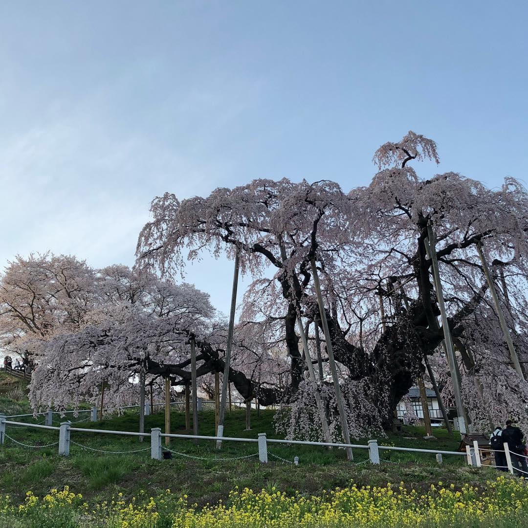こんにちは☆4月後半になってもまだまだ寒い日がありますね!皆さん体調崩されてはいないですか?GWも寒い日があるみたいなので、体調にはお気をつけください!! 先週お休みの日に、三春の滝桜を見に行きました♪♪ここ5年くらい、毎年かかさず滝桜は見るようにしています☆ライトアップされた夜桜を見に行くことが多いのですが、今年は天気がいい日にライトアップ前の桜を見に行きました♪♪三春の滝桜は大きくて本当に素晴らしいです!風にそよそよ揺られた桜もとっても可愛いなぁと思います(^^) また来年、滝桜を見に行きたいと思います☆  #郡山理美容室 #郡山美容室 #郡山富田駅近く #郡山ルシードスタイルリム #リムグループ #郡山リムアズール #三春滝桜 #三春滝桜満開 #三春リムヘアー #三春町美容室